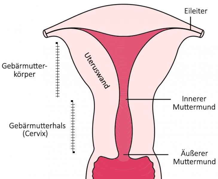 Uterus - Wissenswertes über die Gebärmutter - Mamiweb.de